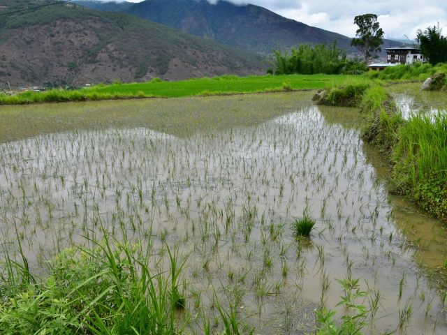 Rice Fields on the way to Chimi Lhakhang